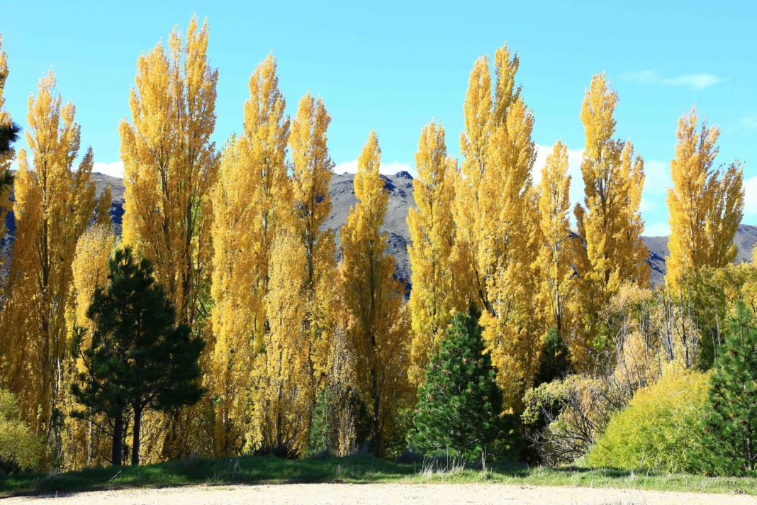 a line of tall, thin lombardy poplars with yellow leaves that are seemingly glowing in the fall sunlight against a crisp blue sky